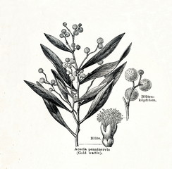 Mountain hickory (Acacia penninervis) (from Meyers Lexikon, 1895, 7/378/379)
