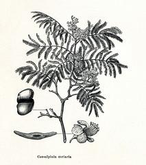 Divi-divi (Caesalpinia coriaria) (from Meyers Lexikon, 1895, 7/378/379)