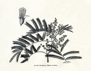 Black wattle (Acacia decurrens) (from Meyers Lexikon, 1895, 7/378/379)
