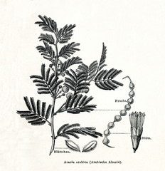 Gum arabic tree (Vachellia nilotica) (from Meyers Lexikon, 1895, 7/378/379)