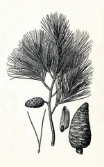 Aleppo pine (Pinus halepensis) (from Meyers Lexikon, 1895, 7/378/379)