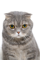 Portrait of an angry cat breed Scottish Fold closeup..