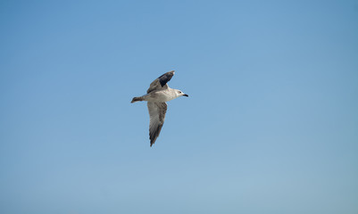 flying seagull. Flying kelp gull