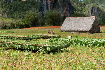 cultivation of tobacco in pinar del rio, cuba