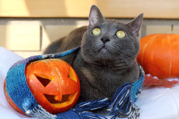 warming festive atmosphere/ cat with smiling pumpkin and warm scarf