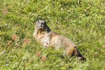 Murmeltier in der Wiese beobachtet seine Umgebung