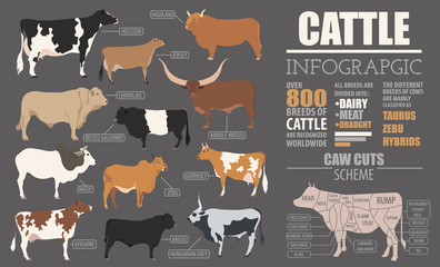 Cattle breeding infographic template. Flat design
