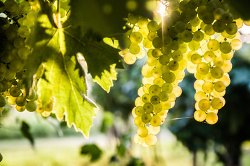 Bunches of ripe grapes before harvest.  Fototapete