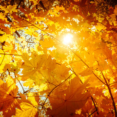 Abstract nature background with colorful maple tree leaves in autumn forest. Sunny day in outdoor park