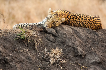 Resting leopard, Sabi Sands Game Reserve, South Africa