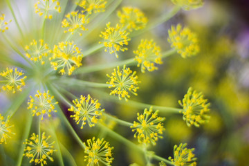 Fennel blossoms.