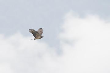 ハチクマ(honey buzzard)