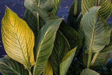 Striped light green to yellow and green leaves under natural lighting