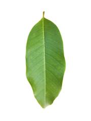 Leaf of white champak isolated on white
