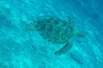 Tortue océan indien plongée
