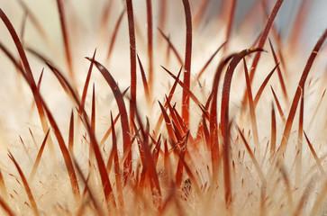 cactus needles macro close up