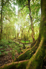 Tropical misty rainforest landscape of outdoor park with big tree roots, jungle plants and wooden bridge. Travel background at Doi Inthanon, Chiang Mai province, Thailand