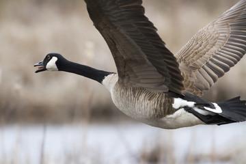 Canada goose (branta canadensis) in flight;Quebec canada