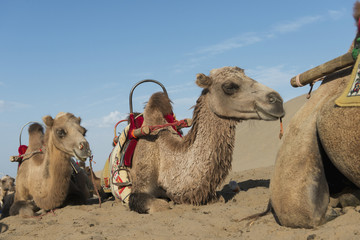 Camels laying on the sand