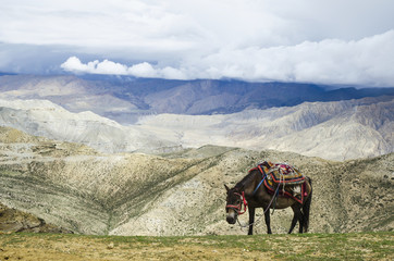 Nepalese horse rests on a mountain pass along the route from samar to gemi;Upper mustang nepal