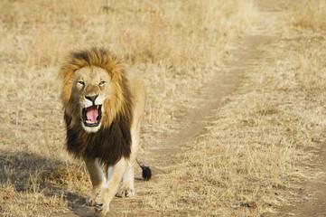 A lion yawning as he walks down a worn path in a grass field in the maasai mara national reserve;Maasai mara kenya