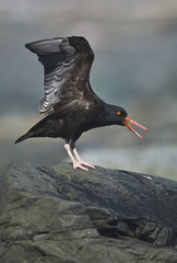 A black oystercatcher (haematopus bachmani) stretches it's wings middleton island alaska united states of america