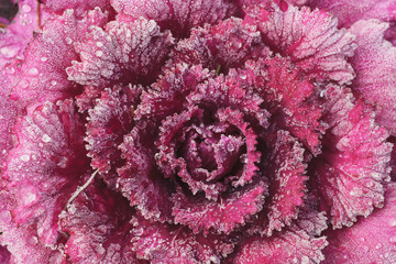 Purple cabbage on a frosty morning;Mill creek washington united states of america