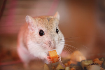 Mouse eating a piece of carrot;Israel
