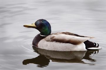 Mallard duck on the water;Edmonton alberta canada