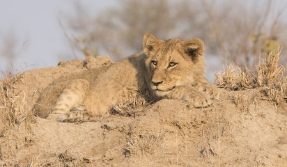 Wild Lion Cub on a Sand Hill in Africa