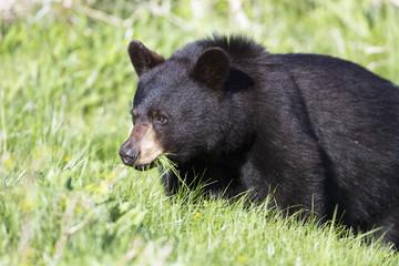 Black Bear (Ursus Americanus) Eating Grass In Spring, Forillon National Park; Quebec, Canada