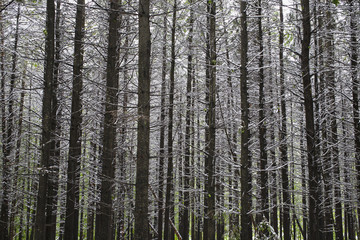 Late spring snowfall in a forest;Ville de lac brome quebec canada