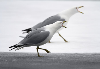 Ring-billed gulls (larus delawarensis) crying standing on a frozen lake at montreal botanical garden;Montreal quebec canada