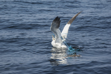 Northern gannet caught by a rope;Skellig islands, county kerry, ireland