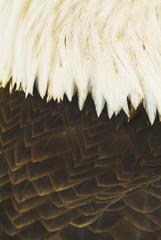 A close-up shot of the back of a live bald eagle;Homer alaska united states of america