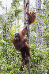 Female and juvenile Bornean orangutan (Pongo pygmaeus) at Camp Leaky, Tanjung Puting National Park, Central Kalimantan, Borneo, Indonesia