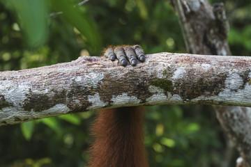 Hand of a Bornean orangutan (Pongo pygmaeus) at Pondok Tanggui, Tanjung Puting National Park, Central Kalimantan, Borneo, Indonesia