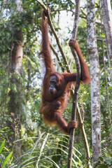 Bornean orangutan (Pongo pygmaeus) at Tangung Harapan, Tanjung Puting National Park, Central Kalimantan, Borneo, Indonesia