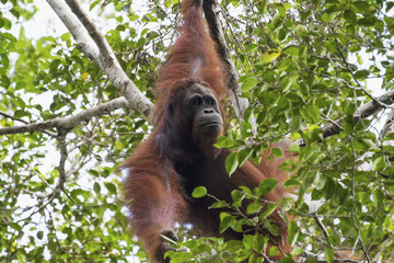 Male Bornean orangutan (Pongo pygmaeus) at Tangung Harapan, Tanjung Puting National Park, Central Kalimantan, Borneo, Indonesia