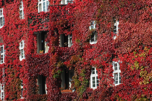 weinlaub laubf rbung herbst bewuchs mietshaus wilder wein kletterpflanze fassade. Black Bedroom Furniture Sets. Home Design Ideas