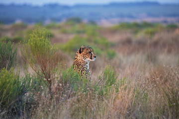 Cheetah sitting in the tall grass; South Africa