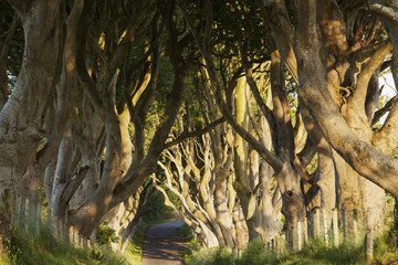 Beech tree alley, near Stranocum; County Antrim, Ireland