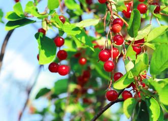 Red chokecherry and green foliage in summer garden