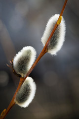 Close up of pussy willows on a thin branch