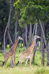 Giraffes walking, located at the Serengeti Plains; Tanzania