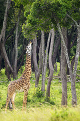 Giraffe eating tree leaves, located at the Serengeti Plains; Tanzania
