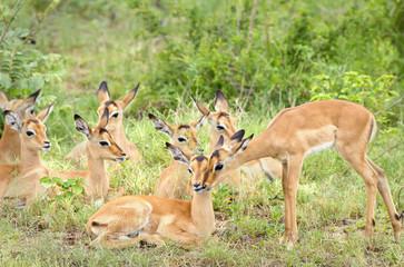 Group of wild antelope at Gomo Gomo Game Lodge; South Africa
