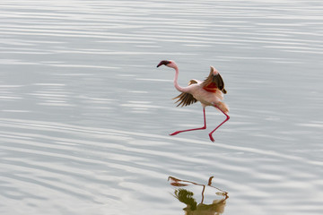 Lesser Flamingos (Phoenicopterus minor) work on their flights in Arusha National Park in winter; Tanzania