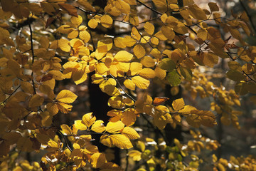 Close up of the autumn coloured foliage on a beech tree, near Schauinsland, Black Forest, Germany