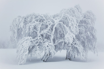 Beech trees covered in snow, near Schauinsland; Black Forest, Germany